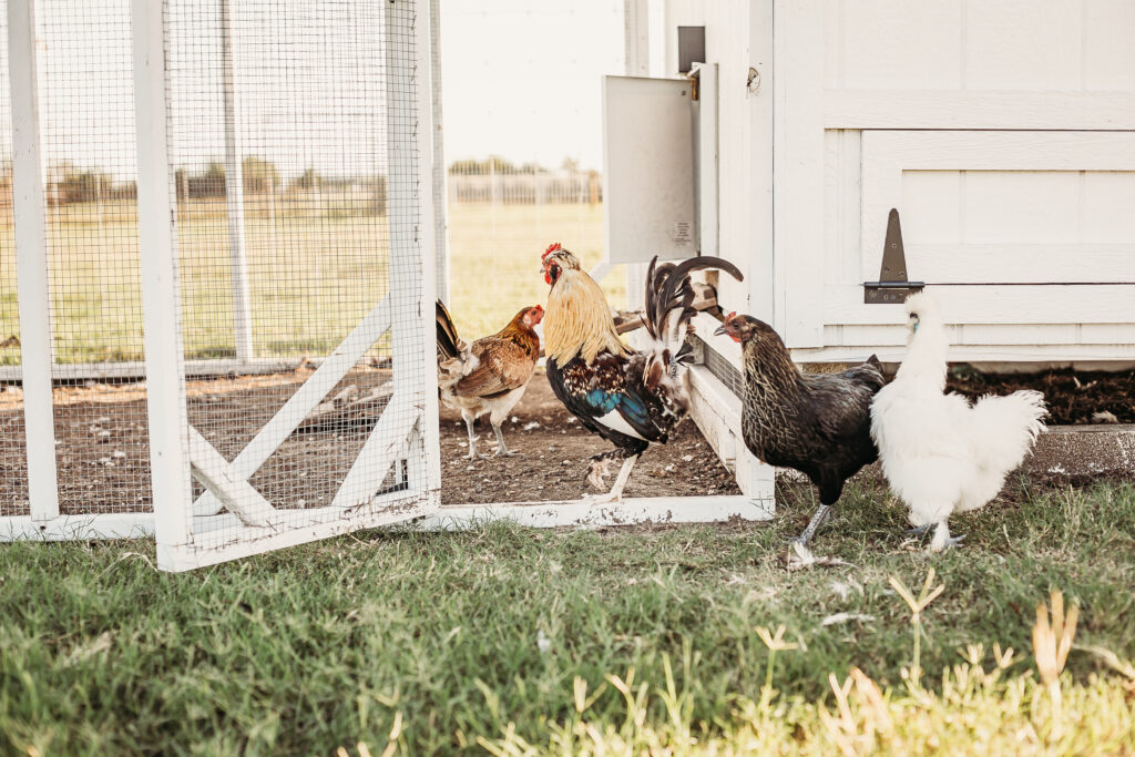 chickens happy and healthy_farm and yard tx
